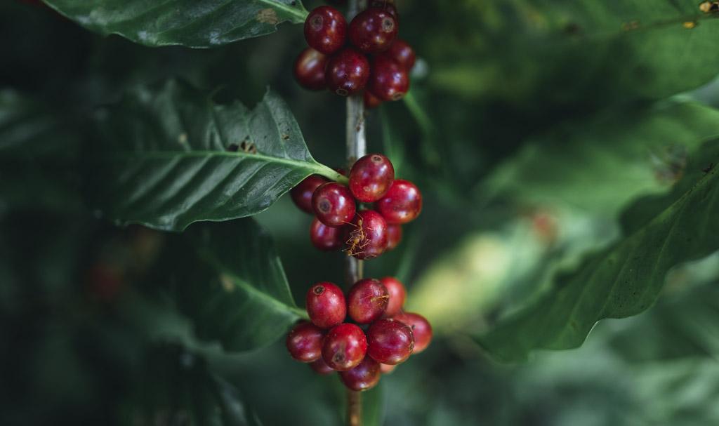 Káva a její účinky na zdraví. Kdy pomáhá a kdy ne?