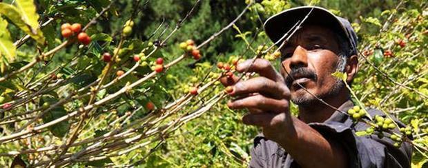Sběrač na kávové plantáži