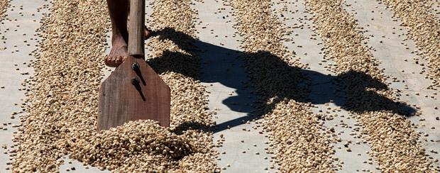 Sušárna kávových zrn