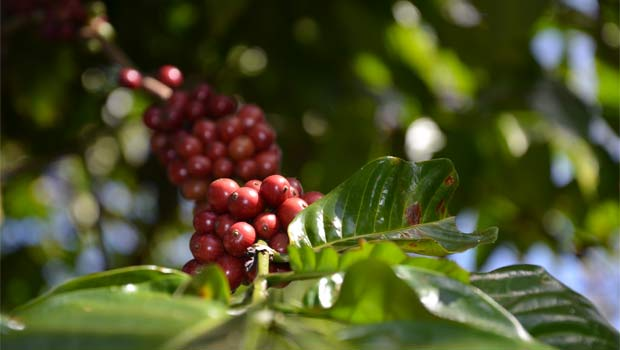Kávovník plodí červené bobule - třešinky.