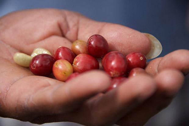 Kávové třešinky z Jamaiky vynikají svojí velikostí