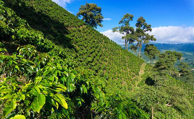 Na této plantáži vysoko v horách problémy s hmyzem nemají