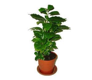 Kávovník (keřík, min 7 rostlin)