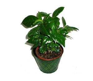 Kávovník (keřík, 7 rostlin)