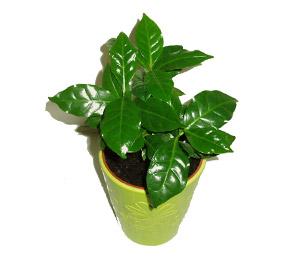 Kávovník (keřík, 3 rostliny)