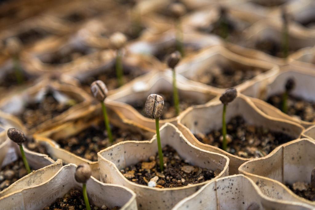 Naklíčená semena kávovníku v malých květináčích