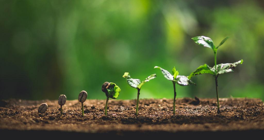 Jak pěstovat kávovník? Exotická rostlina u vás v pokoji