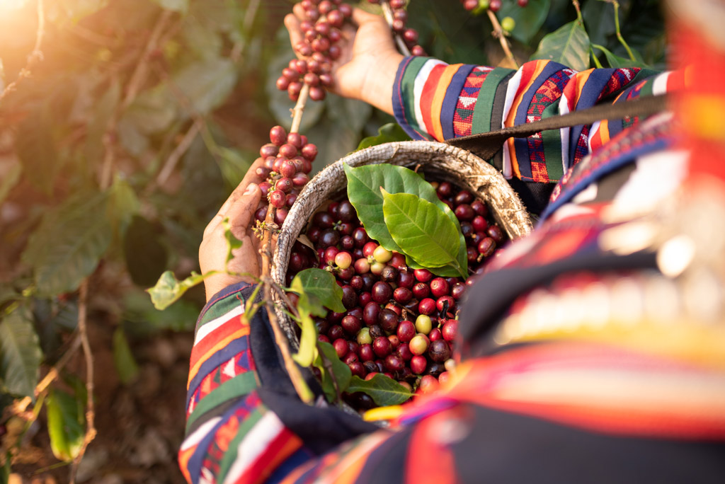 Sběračka na kávové plantáži