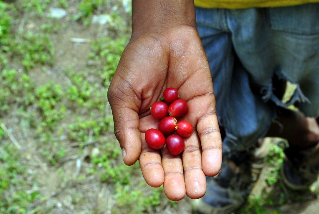 Jamaica Blue Mountain - kávový klenot ze srdce Karibiku